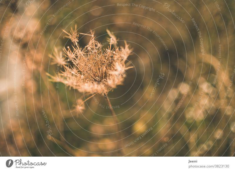Gräser am Wegesrand im Herbst - Nahaufnahme Gras Gäser vertrocknet trocken Pflanze getrocknet verblüht schwache Tiefenschärfe Natur Blume Blüte Vergänglichkeit