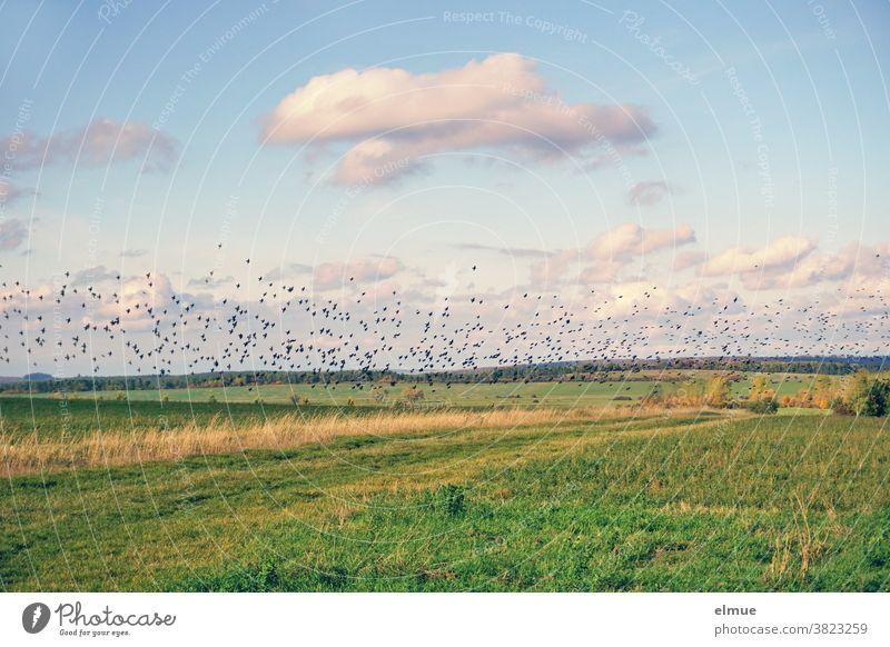 Tausende von Staren sammeln sich auf den Feldern, um sich noch Energiereserven für den Vogelzug gen Süden anzufuttern. Schwarm Singvogel Feldrain Herbst Futter