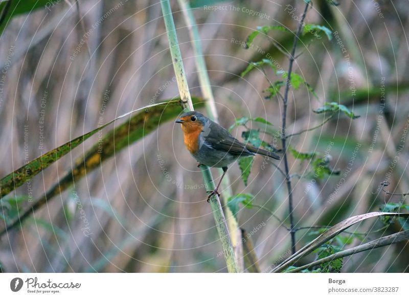 Rotkehlchen im Schilf Vogel Tier Natur Außenaufnahme Wildtier Tierporträt Farbfoto Umwelt niedlich Blick Nahaufnahme Tag klein