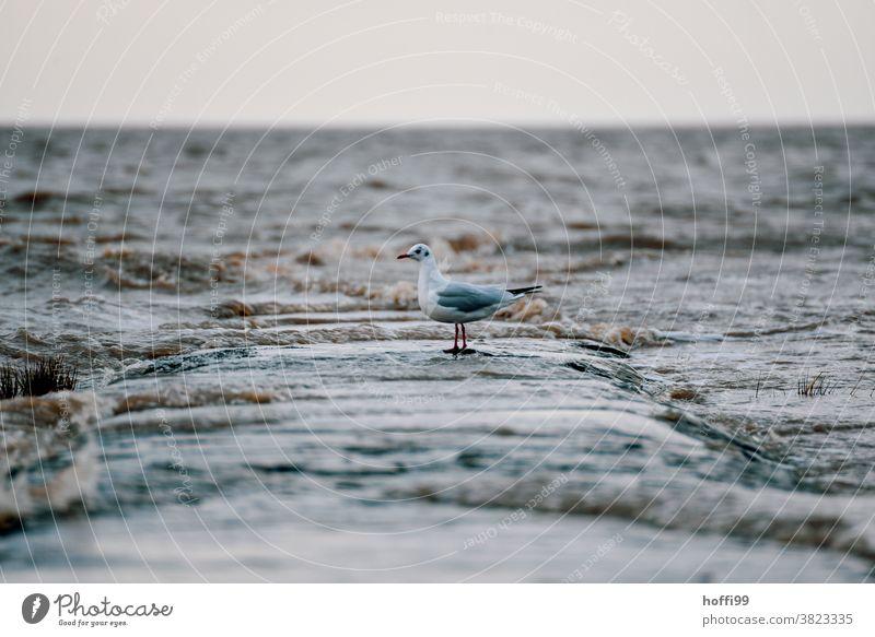 Möwe bei Sturm am Strand auf einer überspülten Buhne aus Basaltsteinen Möwenvögel kalt Buhnen in der See schlechtes Wetter nass Vogel Schwache Tiefenschärfe