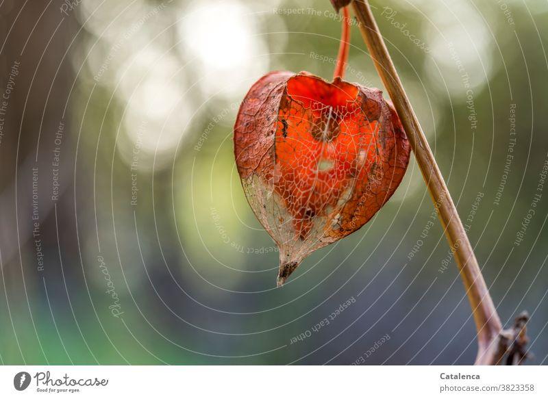 Lampionblume, Physalis alkekengi Vergänglichkeit Verwelken Grün Orange Garten Stängel Blütenkelch Nachtschattengewächse Blasenkrschen Tageslicht Pflanze Natur