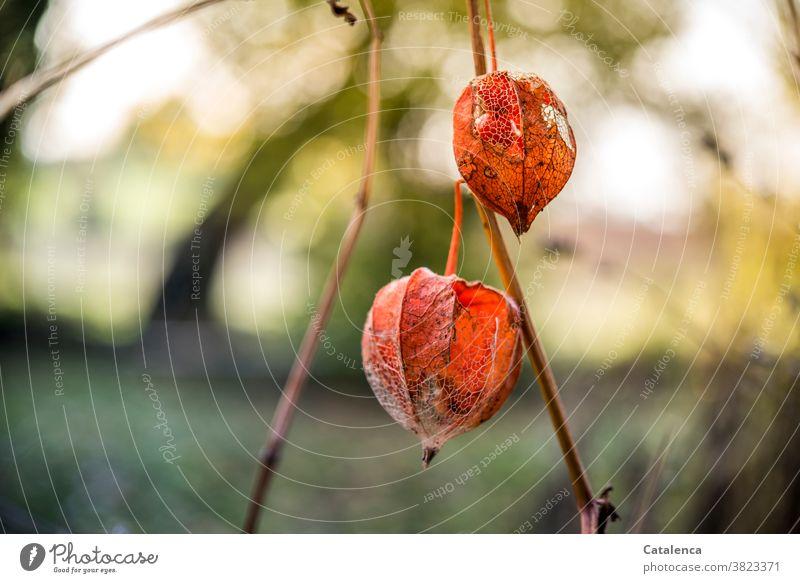 Im Vordergrund  Physialis, im Hintergrund Gartenlandschaft Natur Flora Pflanze Physalis Lampionblume vertrocknen Samen Frucht Herbst Vergänglichkeit Design