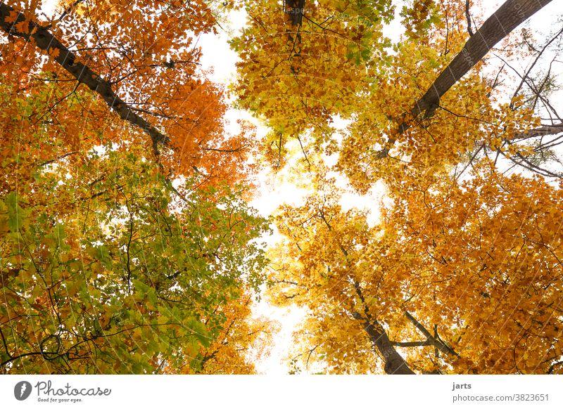 Herbsthimmel Himmel Bäume Wald Blätter bunt Laubbaum Natur Baum Landschaft Blatt Außenaufnahme Umwelt Menschenleer Farbfoto natürlich Licht Sonnenlicht rot grün