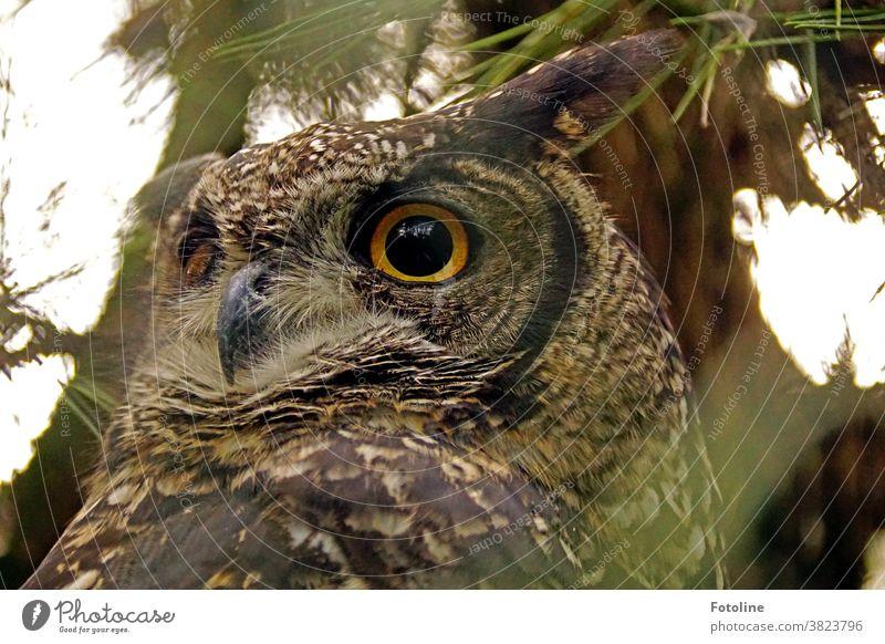 Big Uhu is watching you - oder ein großer Uhu schaut sich aufmerksam um. Tier Eulenvögel Farbfoto Wildtier Vogel Außenaufnahme 1 Tierporträt Tag Blick