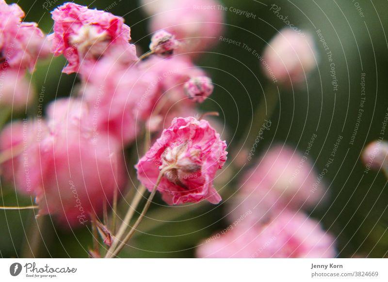 Rosa Schleierkraut rosa Blume Natur Makroaufnahme Farbfoto Pflanze Nahaufnahme Trocken Blüte