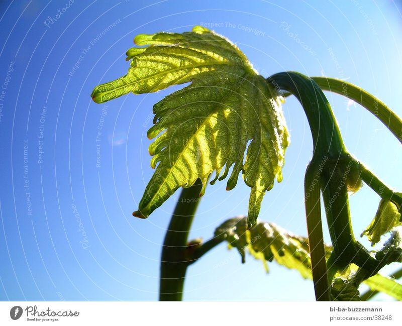 Jüngling Sommer Blatt Wein Blütenknospen Weinberg