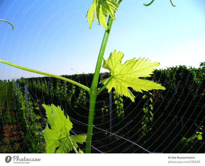 Blattwerk Sommer Blatt Wein Blütenknospen Weinberg