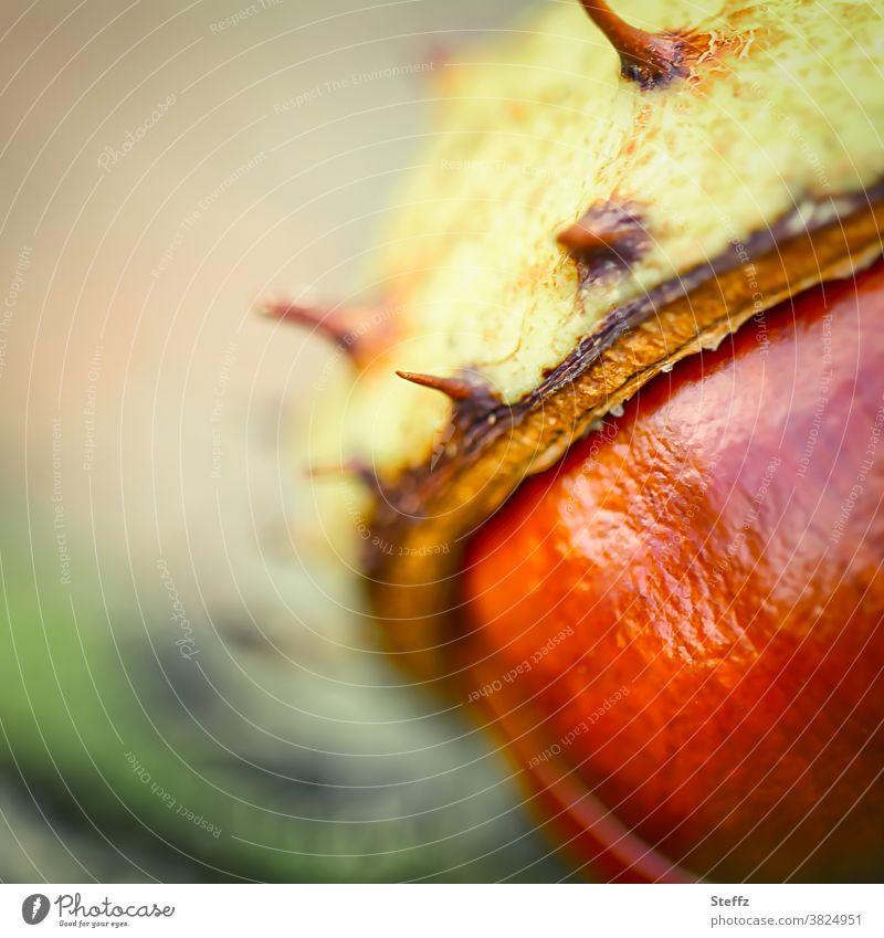 Kastanienzeit im Oktober Saisonende Kastanienschale goldener Oktober Herbstbeginn herbstlich Herbstfärbung braun Stachel hellgrün warme Farben Herbstgefühle nah