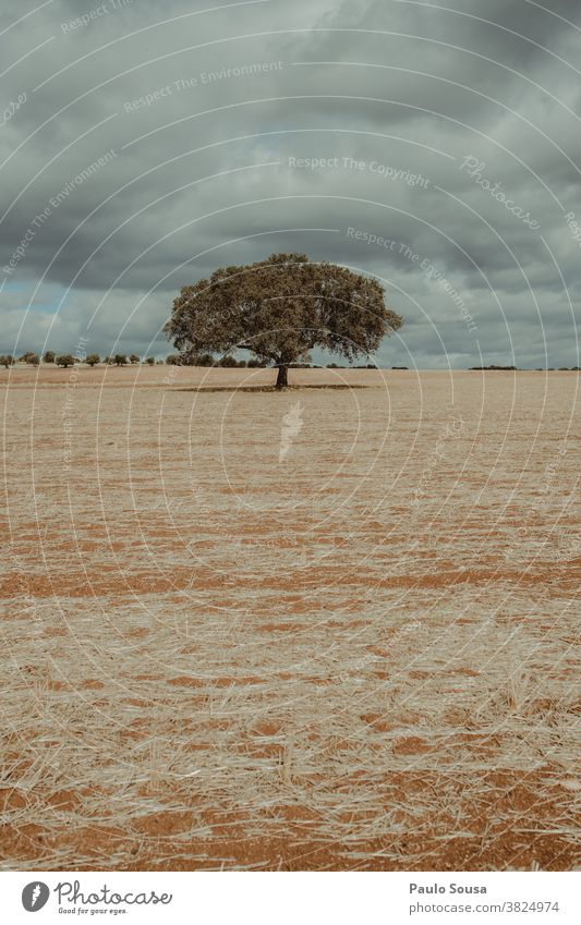 Isolierte Eiche Korkbaum auf Feld Cork Korkeiche vereinzelt Baum Landschaft Textfreiraum Tag Menschenleer grün Umwelt Außenaufnahme Pflanze Eichenblatt Farbfoto