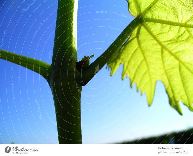~/root Sommer Blatt Wein Blütenknospen Weinberg