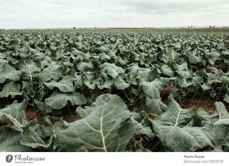 Feld der Kohlbrokkoli-Plantage Kohlgewächse Kohlblätter Brokkoli Ackerbau Nutzpflanze Gemüse grün Farbfoto Ernährung Lebensmittel Pflanze Vegetarische Ernährung