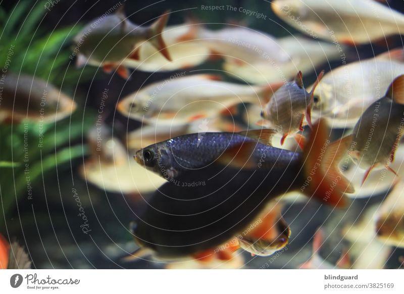 Die meisten schwimmen mit und manche gegen den Strom. Den Massen zum Trotz gibt es jetzt auch noch die Querschwimmer. Fisch Fische Aquarium Zierfiasche