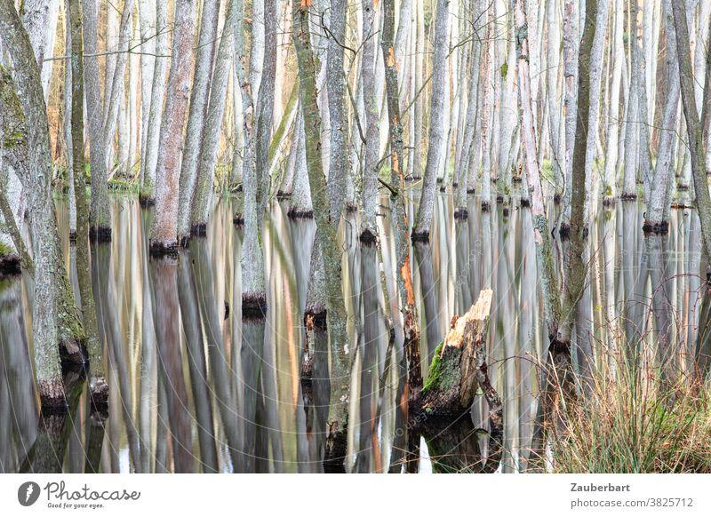 Erlenbruch - Bruchwald im Briesetal, Stämme und Spiegelungen Baum Stamm Baumstamm Natur Wald geheimnisvoll verwunschen Umwelt Wasser Fluss