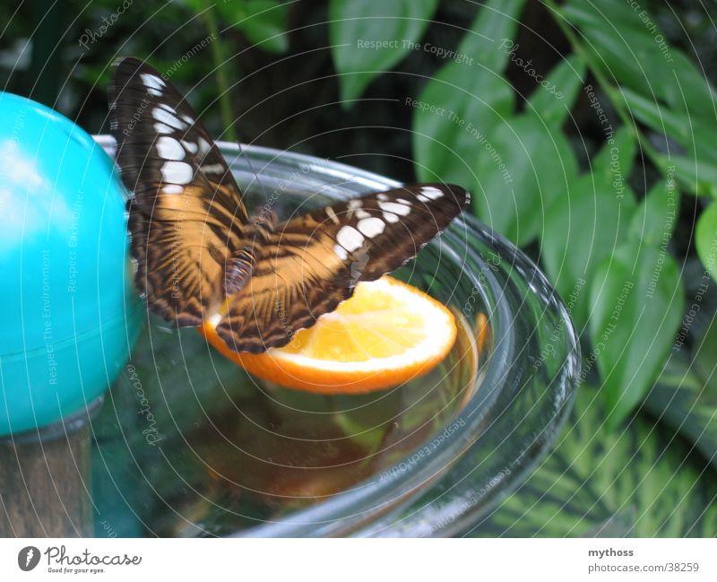 Schmetterling grün Tier Verkehr Natur fliegen orange