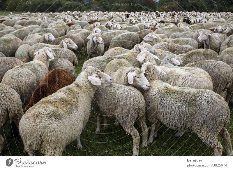 Schafherde im Sommer Schafe Herde Weide Bauernhof Tier Lamm Wolle Landschaft Natur Gruppe Vieh Landwirtschaft Säugetier ländliche Schafbaum starren grüne Hügel