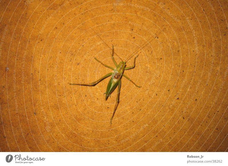 Grashüpferle Insekt Heuschrecke Natur Detailaufnahme Carausius Morosus