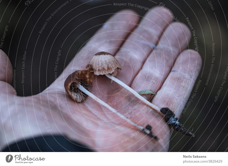 zwei braune Champignons in der Hand Herbst Hintergrund Verschlussdeckel Kappen Nahaufnahme gefährlich Wald frisch Pilze Finger Zauberei u. Magie Pflanze Saison