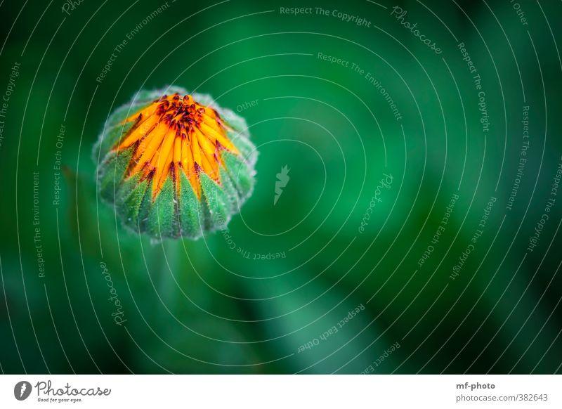 punktuell Umwelt Natur Pflanze Sommer Blume Blüte grün orange Farbfoto Menschenleer