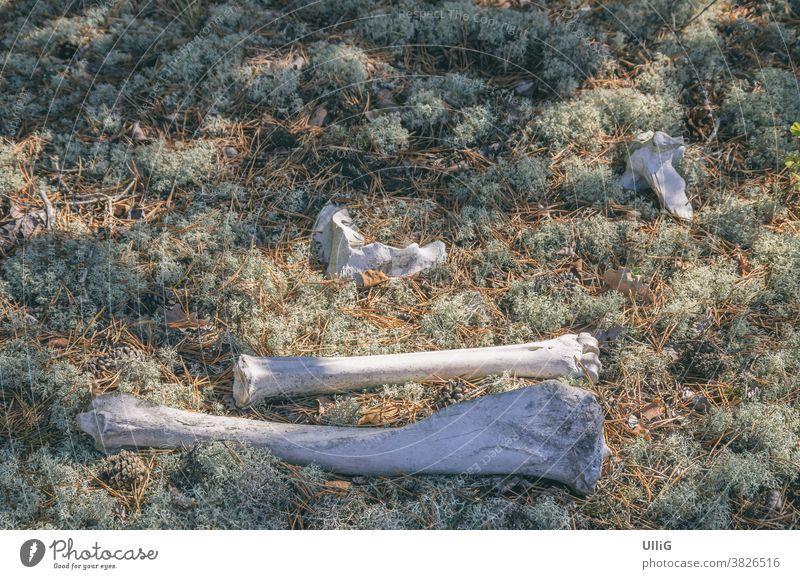 Tierknochen in einem Waldstück - Das Ende eines Tieres in Form von Skelettresten, d.h. Knochen in einem Waldstück. Holz tot Überreste Natur Tod welk