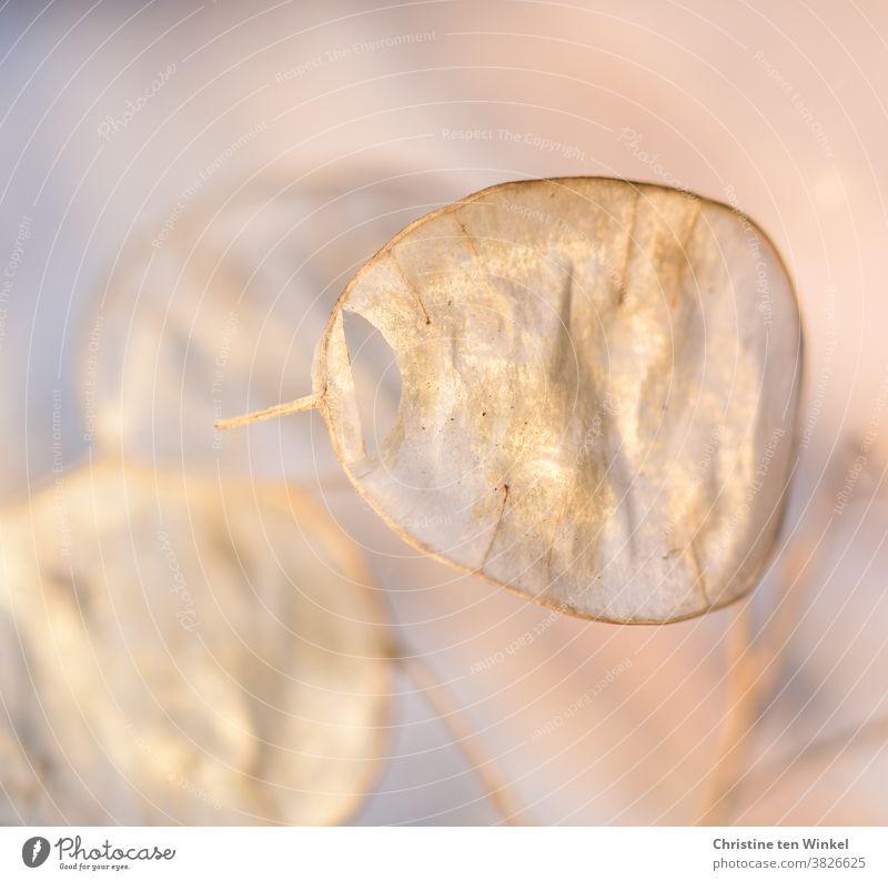 golden glänzendes Samenschötchen des einjährigen Silberblattes / Lunaria annua. Nahaufnahme mit schwacher Tiefenschärfe. Gartensilberblatt Silberling