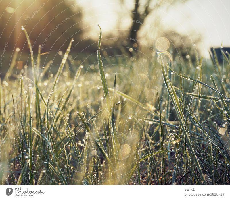 Goldenes Vlies Morgentau flimmern Rasen nasses Gras funkeln Wachstum Umwelt Garten Makroaufnahme Froschperspektive leuchten geheimnisvoll Tautropfen Tropfen