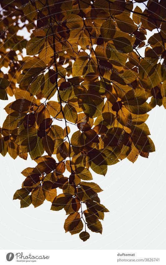 Hängender Zweig mit Herbstlaub Blätter Laub Natur herbstlich Herbstfärbung Herbstbeginn Blatt Außenaufnahme Baum Vergänglichkeit Wandel & Veränderung