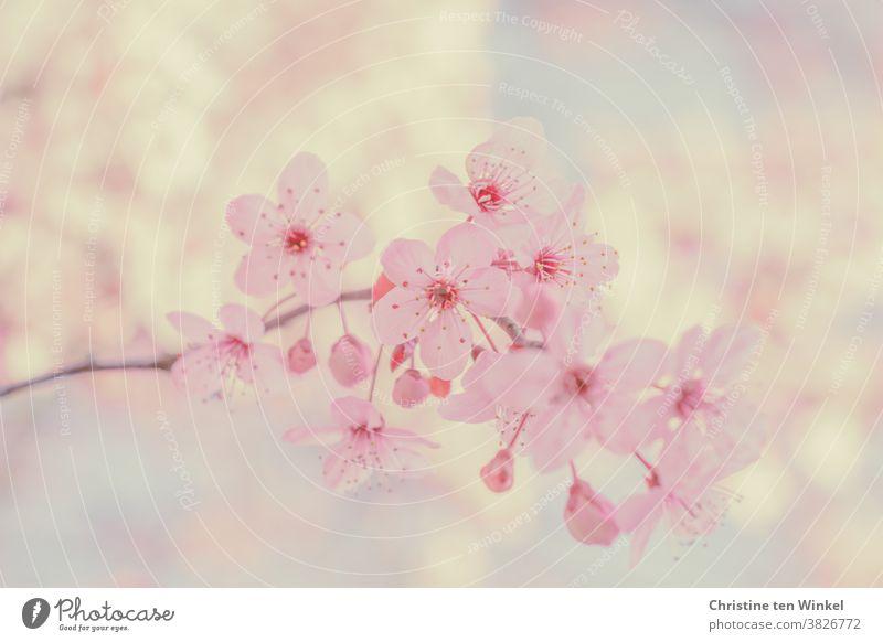 Rosa Blütenzweig im Frühling. Nahaufnahme mit schwacher Tiefenschärfe Zweig Natur Baum Blutpflaume Prunus cerasifera Pflanze schön hell weiß rosa