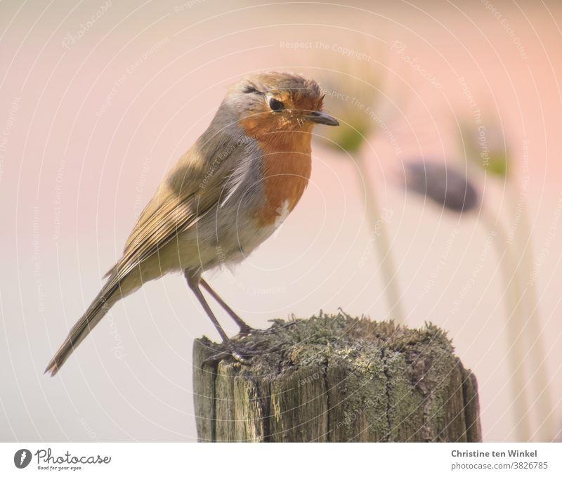 Rotkehlchen posiert auf einem alten Holzpflock Erithacus rubecula Wildtier 1 Tier klein Neugier Ganzkörperaufnahme Wildvogel Tierporträt Vogel orange Tag