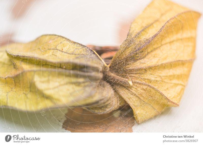 trockene Fruchthülle der Physalis peruviana, Kapstachelbeere, Andenbeere auf hellem Untergrund Hülle Strukturen & Formen Detailaufnahme Schwache Tiefenschärfe