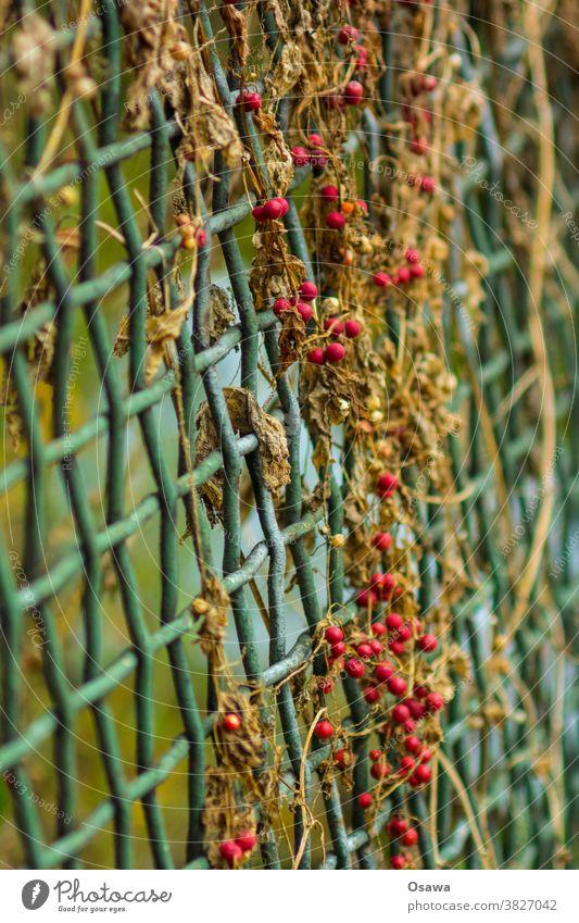 Rote Beeren an grünem Gitter Pflanze Beerensträucher Frucht rot Zaun Natur Sträucher Schwache Tiefenschärfe Herbst Menschenleer Nahaufnahme Außenaufnahme