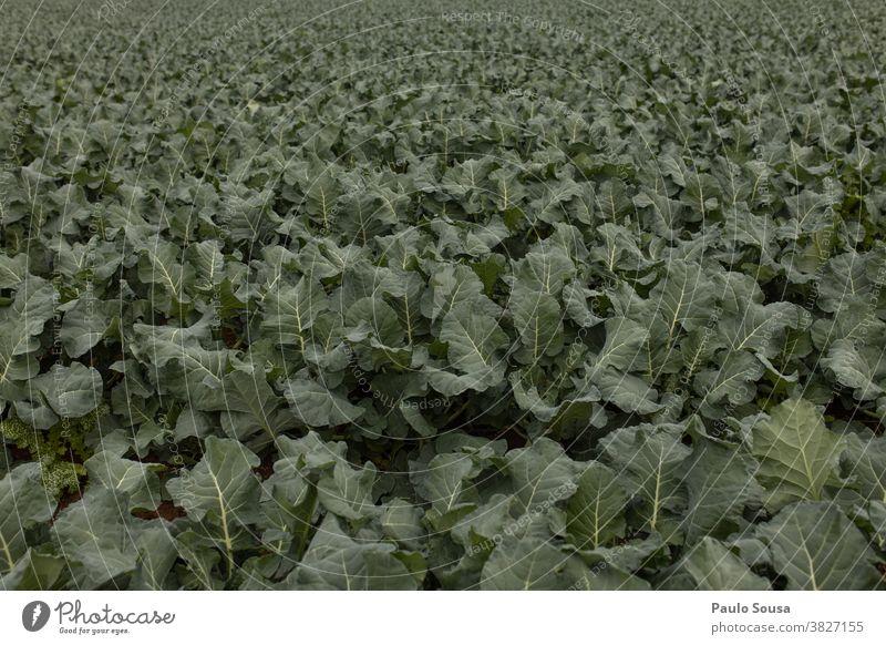 Feld der Kohlbrokkoli-Plantage Ackerbau Nutzpflanze landwirtschaftlich Kohlgewächse Kohlblätter Brokkoli Schonung Frische frisch Vegetarische Ernährung