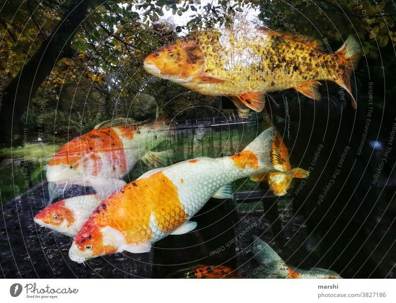 KoiKarpen fische aqurium koikarpfen wasser tierwelt spiegelung bäume herstblich aquaristik tierpark zucht karpen