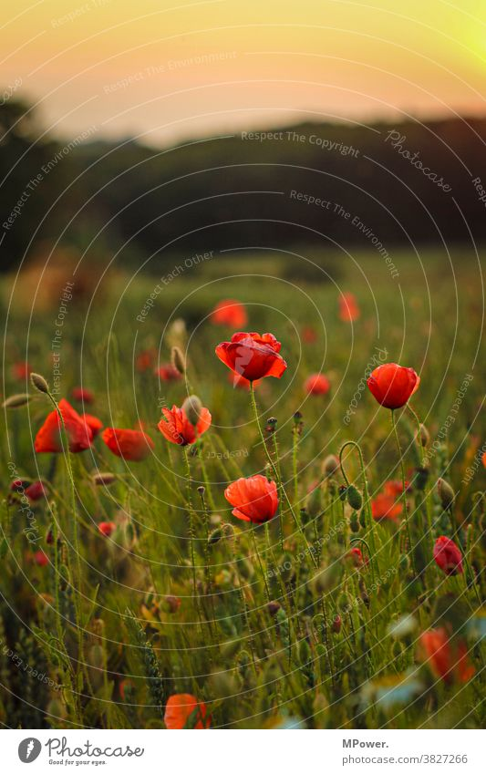 mohnfeld Mohnfeld rot Blüte Mohnblüte Feldrand Natur Pflanze Sommer Wiese Blume Wildpflanze Schwache Tiefenschärfe Außenaufnahme Klatschmohn