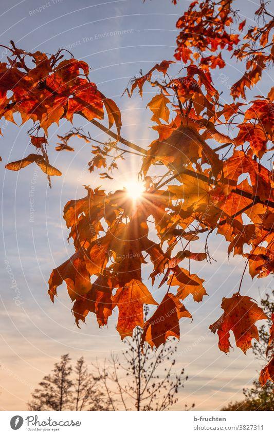Rote Herbstblätter im Sonnenlicht Blatt Natur Baum Wald Außenaufnahme Menschenleer Sonnenstrahlen Gegenlicht Schönes Wetter ruhig Blätter rot Abendlicht