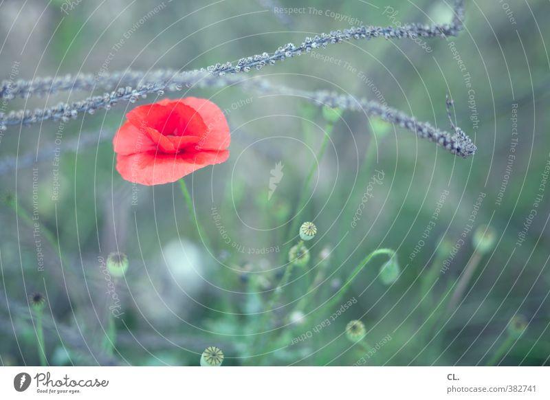 am wegesrand Umwelt Natur Landschaft Pflanze Frühling Sommer Schönes Wetter Blume Gras Blatt Blüte Klatschmohn Garten Park Wiese Blühend schön grün rot Idylle