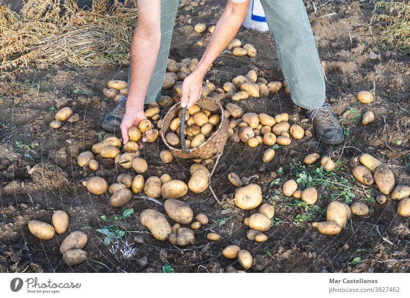 Kartoffeln frisch vom Boden. Mann beim Kartoffelsammeln. Landwirtschaft. Ackerbau Ernte abholen herausnehmen Korb ländlich Bauernhof Knolle Lebensmittel Zutaten