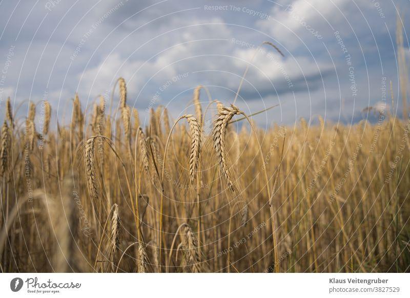Getreidefeld mit wolkigen Himmel, große Ären im Vordergrund. Feld Wolken Gerste Roggen Weizen Hafer Sommer Landwirtschaft Ähren Natur Kornfeld Lebensmittel