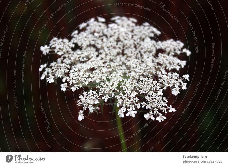weiße Blüte vor dunklem Hintergrund Blume Pflanze Blühend Detailaufnahme Nahaufnahme Schwache Tiefenschärfe Nutzpflanze Vegetation Feldflora Wiesenblumen