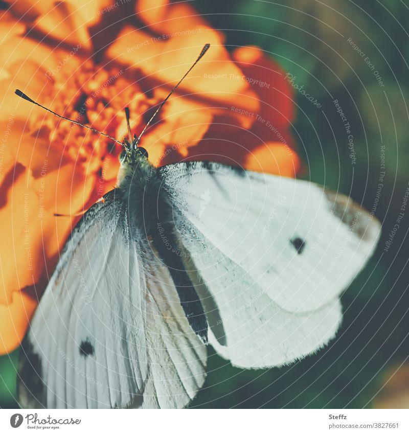 Kleiner Kohlweißling genießt die warmen Sonnenstrahlen im Oktober kleiner Kohlweißling Schmetterling Falter Edelfalter Tagfalter Pieris rapae Weißling nah