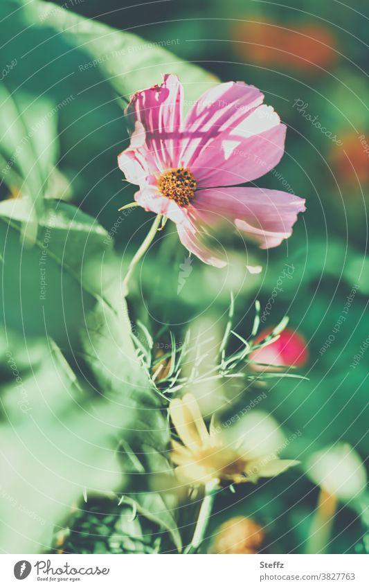 blühende Cosmea Herbstblume Cosmea bipinnata Cosmos bipinnatus Herbstgarten Herbstblüte Schmuckkörbchen blühende Blumen Herbstblumen Herbstblüher Blumenbeet