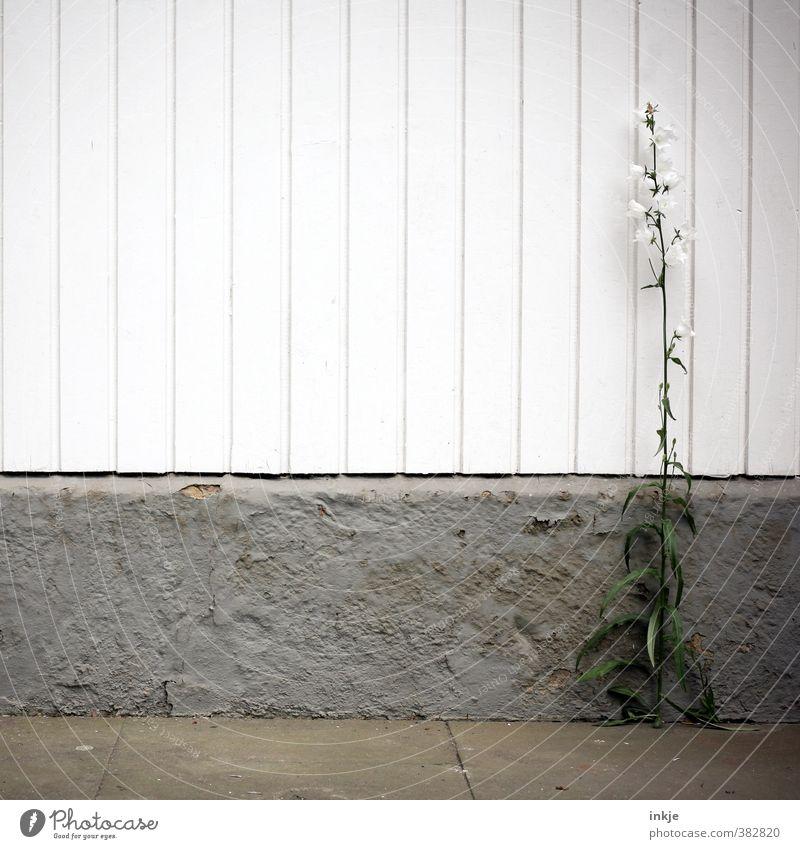 graphisch | Wuchs am Bau Stadt weiß Sommer Blume Umwelt Wand Mauer grau natürlich Garten Linie Fassade Wachstum Blühend Terrasse Wildpflanze
