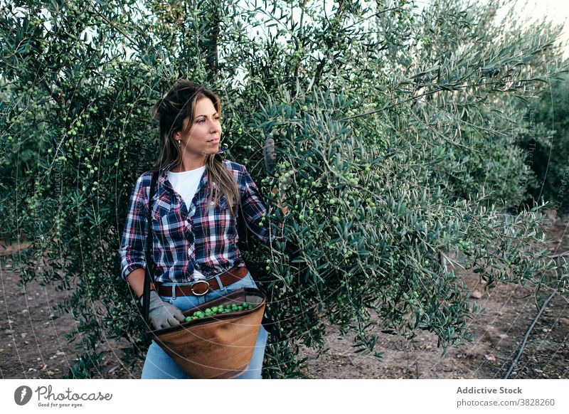 Frau erntet Oliven auf dem Bauernhof Landwirt oliv Ernte pflücken abholen Schonung Ackerbau Baum ländlich Pflanze Erwachsener Kleinunternehmen Besitzer Arbeit