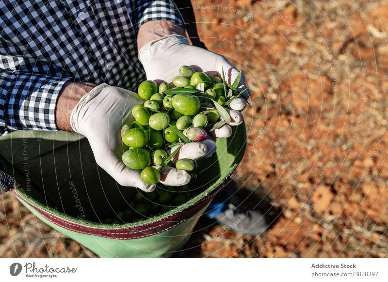 Landwirt mit reifen grünen Oliven im Beutel Handvoll Frucht oliv Agronomie Ernte Bauernhof Vitamin Garten Natur abholen kultivieren Saison Schonung organisch