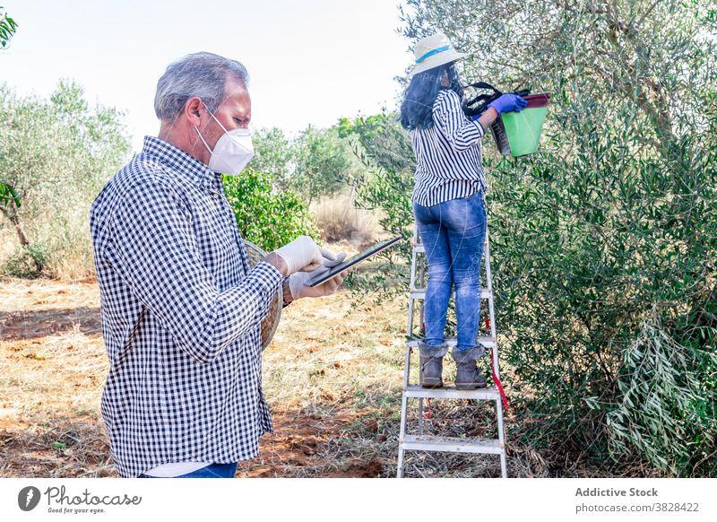 Älterer Mann mit Tablette in der Nähe von Frau sammeln Früchte im Garten Landwirt COVID Ackerbau pflücken benutzend Schonung Ernte Frucht Arbeit Pflanze Feld