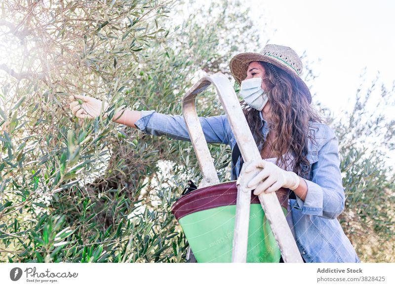 Junge Frau steht auf einer Leiter und sammelt Früchte Landwirt Mundschutz pflücken reif Frucht oliv kultivieren Schonung COVID19 Coronavirus Bauernhof Bund 19