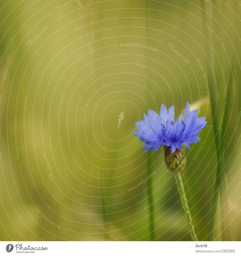 Blaue Blume Getreide Pflanze Gras Blatt Blüte Kornblume Stengel Halm Feld Kulturlandschaft Kornfeld Getreidefeld Feldrand Blühend Wachstum ästhetisch