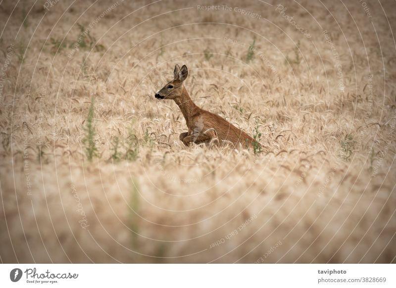 Rehwild, das im Weizenfeld springt Tarnung schön Fauna Lebensraum Hirsche Rogen Ackerbau Kapreolus Säugetier Wildnis Tierwelt Hirschkuh Spiel rennen springen