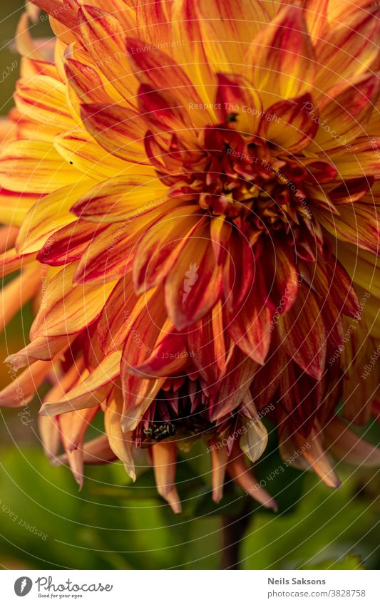 Nahaufnahme einer schönen orangefarbenen blühenden Dahlie mit darauf sitzender Fliege Herbst Hintergrund Schönheit schwarz Blütezeit Überstrahlung Bokeh Botanik