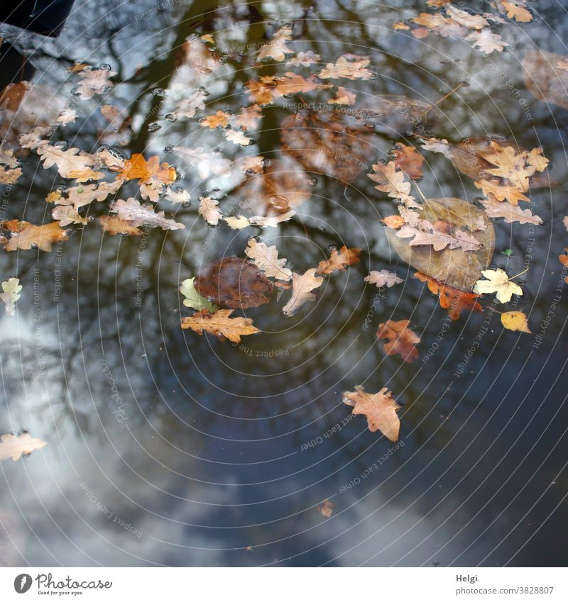 drunter und drüber - herbstlich gefärbte Blätter schwimmen auf dem Wasser, in dem sich ein kahler Baum, Himmel und Wolken spiegeln Laub Blatt Herbst Eichenblatt