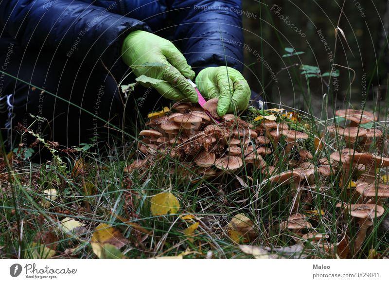 Pilzsammler schneidet Champignons mit einem Messer Waldlichtung Frauen Blick grün Aktivität braun abholen geschnitten frisch menschlich natürlich organisch